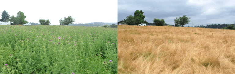 Before treatment (left) 14 acre blessed milk thistle infestation; post-treatment (right), recovery of pasture grasses.